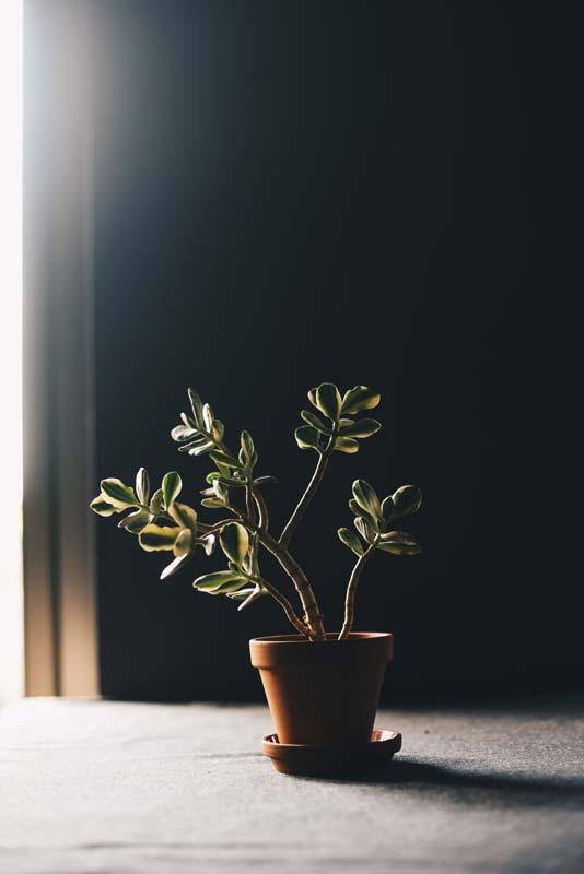 pianta in semiombra