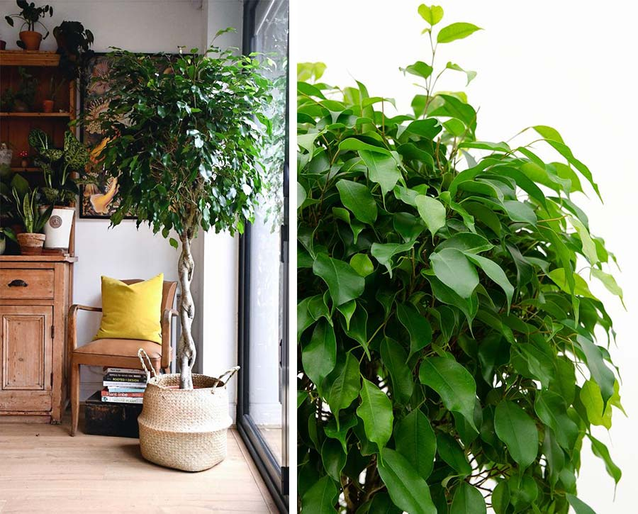 Ficus benjamin da interno